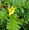 Image of Gokshura Tribulus terrestris plant