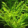 Image of Hygrophila auriculata plant