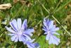 Image of Wild Chicory (Cichorium intybus) flowers